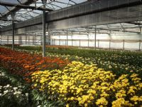 Flores - Flor Cortada Alhama de Murcia - 2