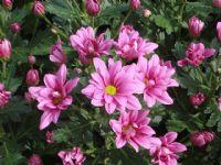 Flores - Flor Cortada Alhama de Murcia - 4