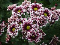 Flores - Flor Cortada Alhama de Murcia - 5