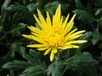 Flores - Flor Cortada Alhama de Murcia - 6