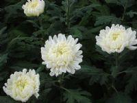 Flores - Flor Cortada Alhama de Murcia - 7