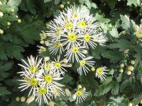 Flores - Flor Cortada Alhama de Murcia - 9