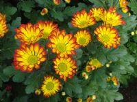 Flores - Flor Cortada Alhama de Murcia - 10