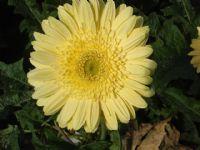 Flores - Flor Cortada Alhama de Murcia - 12