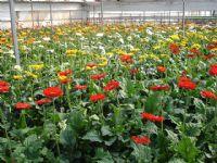 Flores - Flor Cortada Alhama de Murcia - 15
